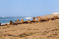 South American sea lions and seals Royalty Free Stock Photos