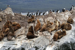 South American Sea Lions, Tierra Del Fuego Stock Photography