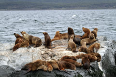 South American sea lions, Tierra del Fuego Stock Photo