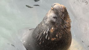 South American Sea Lions stock video