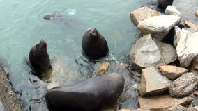 South American Sea Lions stock video footage