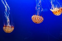 West African Sea Nettles in Omaha Henry Doorly Zoo. South American sea nettles as seen in Henry Doorly Zoo in Omaha Nebraska They are carnivores in the family of stock photo