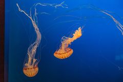 West African Sea Nettles in Omaha Henry Doorly Zoo. West African sea nettles as seen in Henry Doorly Zoo in Omaha Nebraska They are carnivores in the family of royalty free stock images