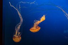West African Sea Nettles in Omaha Henry Doorly Zoo. West African sea nettles as seen in Henry Doorly Zoo in Omaha Nebraska They are carnivores in the family of stock photos