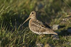 South American Snipe on the Grass Stock Images
