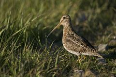 South American Snipe on the Grass Royalty Free Stock Photos