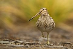 South American snipe walking on the rocks Stock Images