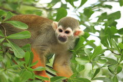 South american squirrel monkey Royalty Free Stock Images