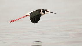 South American Stilt (Himantopus melanurus) flying over the ocean. Patagonia, Argentina. South America Stock Photography