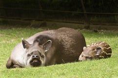 South American Tapir Royalty Free Stock Photo