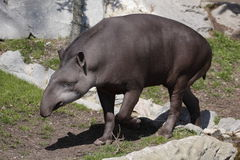 South american tapir. The South American Tapir (Tapirus terrestris), or Brazilian Tapir or Lowland Tapir or (in Portuguese) Anta, is one of four species in the stock photos