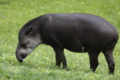 South american tapir. The South American Tapir (Tapirus terrestris), or Brazilian Tapir ( or Lowland Tapir, is one of four species in the tapir family, along stock images