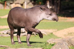 South american tapir. The adult american tapir in the grass royalty free stock photo