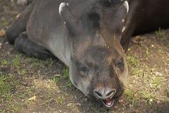 South American tapir Stock Photos