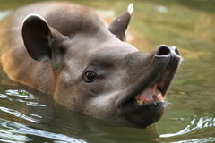 South american tapir. The detail of south american tapir in water stock photography
