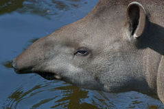 South American Tapir Royalty Free Stock Images