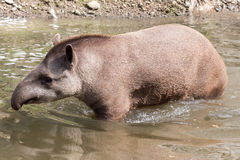 South American tapir - full shot Stock Photos