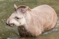 South American tapir - head on shot Royalty Free Stock Image