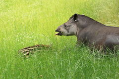 South american tapir Stock Images