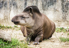 South American tapir - Tapirus terrestris – animal portrait Royalty Free Stock Photography