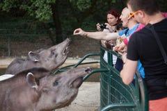 South American Tapir Tapirus Terrestris Royalty Free Stock Image