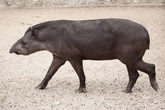 South American tapir Tapirus terrestris Stock Images