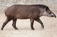 South American tapir Tapirus terrestris Stock Photos