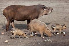 South American tapir (Tapirus terrestris) Royalty Free Stock Photos