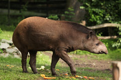 South American tapir (Tapirus terrestris). Stock Photography