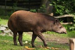 South American tapir (Tapirus terrestris). Stock Photography