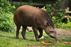 South American tapir (Tapirus terrestris). Royalty Free Stock Photos