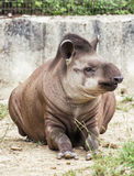 South American tapir (Tapirus terrestris), animal scene Stock Image
