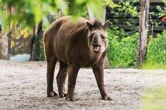 South American tapir - Tapirus terrestris Stock Photography