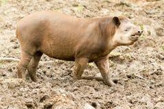 South American Tapir Tapirus Terrestris Stock Photos