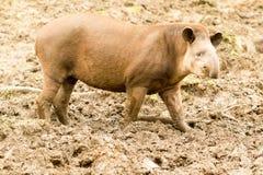 South American Tapir Tapirus Terrestris Royalty Free Stock Images
