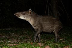 South American tapir Tapirus terrestris in natural habitat during night, cute baby animal with stripes, portrait of rare animal. From Peru, amazonia, wildlife stock photography