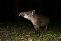 South American tapir Tapirus terrestris in natural habitat during night, cute baby animal with stripes, portrait of rare animal stock images