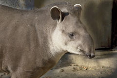 South American tapir (Tapirus terrestris), Stock Photos