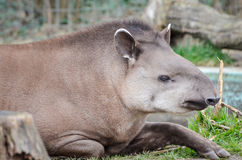 South American tapir - Tapirus terrestris Royalty Free Stock Photography
