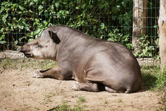 South American tapir (Tapirus terrestris) Stock Images