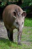 South American tapir (Tapirus terrestris) Royalty Free Stock Photo