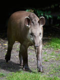 South American tapir Tapirus terrestris Stock Image