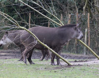 South american tapir Royalty Free Stock Image
