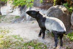 South American tapir in zoo. Wildlife animal. Royalty Free Stock Images