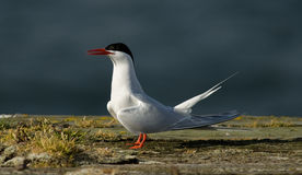 South American Tern. A South American Tern standing on a moss-covered dock stock photography