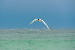 South American Tern over the South Atlantic Royalty Free Stock Photography