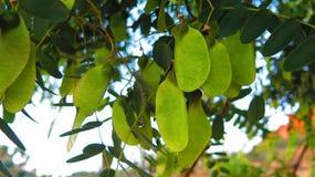 The South American tipu tree (Tipuana tipu). Stock Image