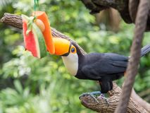 South American Toucan eating watemelon royalty free stock images