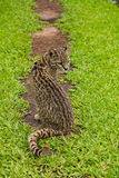 South American wild cat Leopardus Oncifelis geoffroyi Royalty Free Stock Images