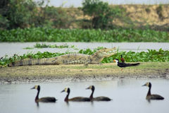 South American wildlife on the bank. (Spectacled Caiman, Black Skimmer royalty free stock images
